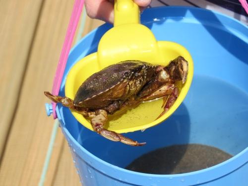 crab-1484873