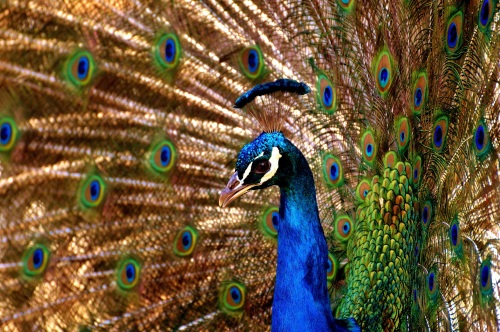 peacock-2479705