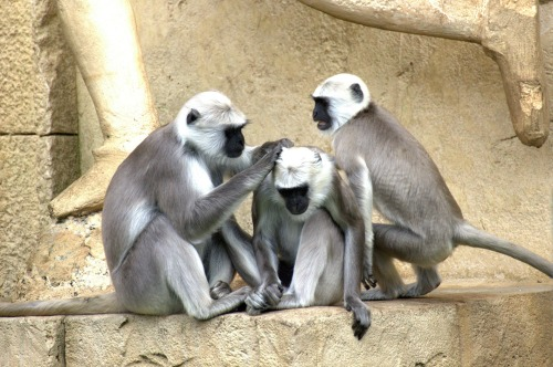 green-monkeys-112275_1920