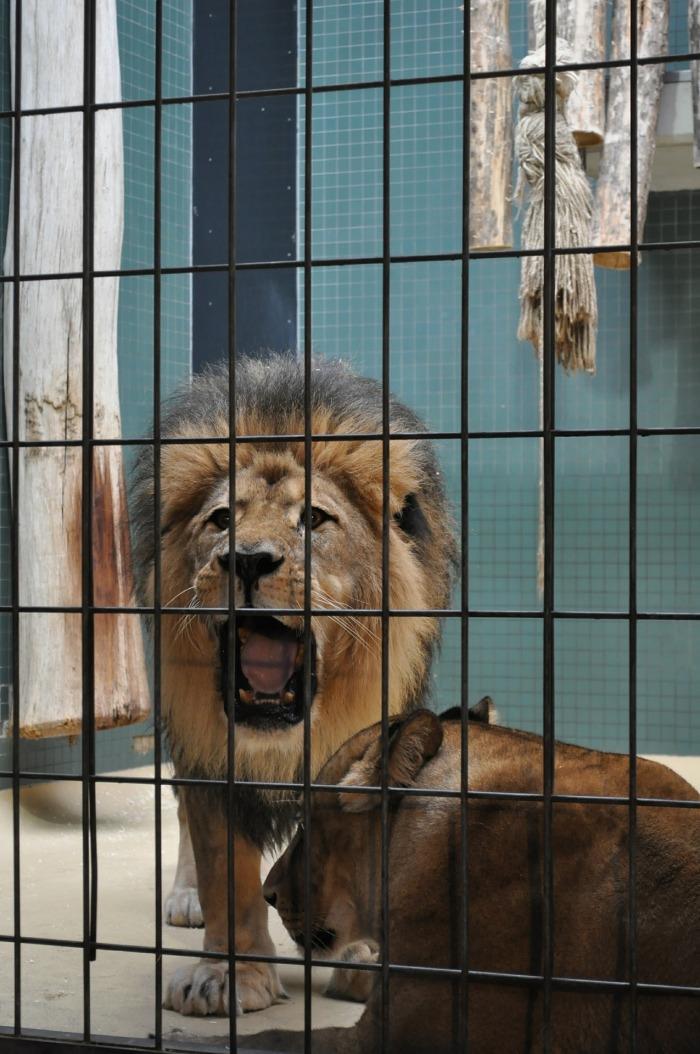 lion-600435_1920