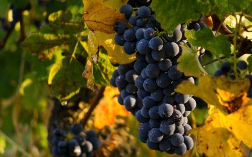 grapes-4290308_1920