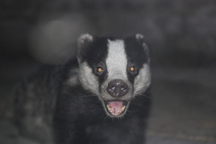 badger-4226520_1920